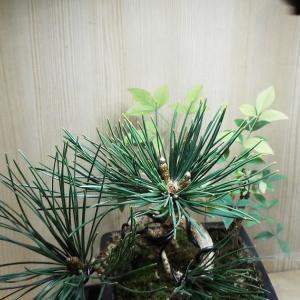 【寄植盆栽】黒松の寄植盆栽の新芽
