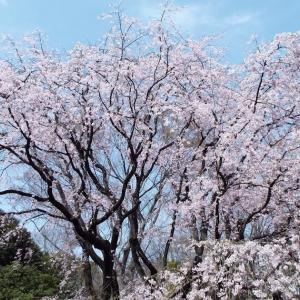 【お勧めスポット】都内のしだれ桜の名所 六義園のしだれ桜