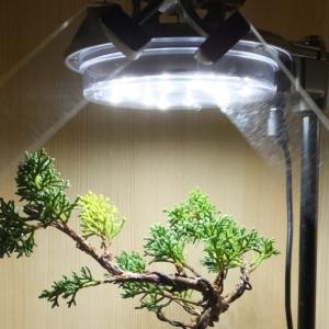 【盆栽】1年間書棚の中で育てた真柏の盆栽のビフォーアフター