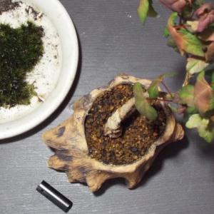 【盆栽】苔が枯れてしまったカエデの鉢に苔を貼ります。
