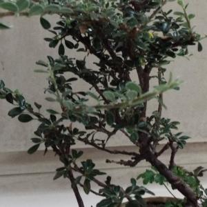 【盆栽】室内で育てているシタンの寄せ植えの剪定