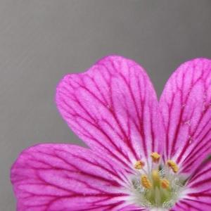 【寄植盆栽】室内で育てている姫フウロ草が開花しました。