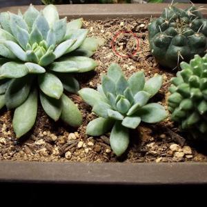 【多肉植物】植替えから3ヵ月、小さなデレントーサが亡くなりました・・・