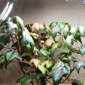 【盆栽】室内で育てている唐カエデの春の生長状況です。ずいぶん大きくなりました。