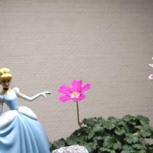 お部屋のなかの姫フウロ草の小さな庭に多くの花が咲き始めました。