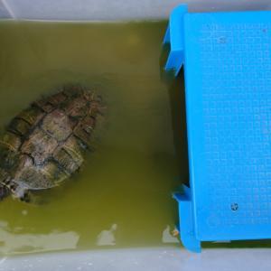 ミドリガメ容器の水換え