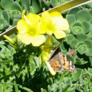 今LAで見られる夢のような風景~蝶の大移動