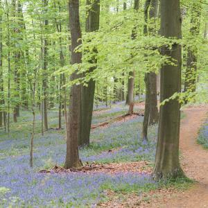 まるで童話の世界!ベルギーの「ブルーベルの森」へ