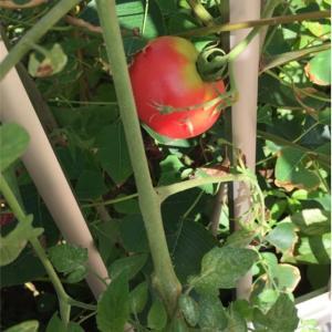 9月の家庭菜園 新しく野菜植えました‼️