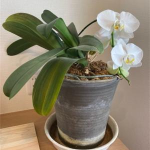 3年目の胡蝶蘭が咲きました‼️
