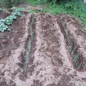"""先週に引き続き長ネギの植え付けとついに""""アレ""""を収穫"""