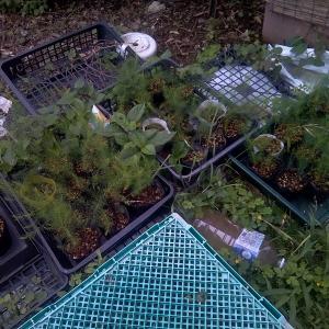 アスパラガスの定植と草刈り作業。カボチャの様子。
