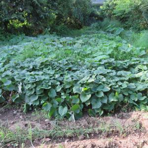 家庭菜園の様子。カボチャの授精を確認。農薬散布の記録。