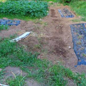 家庭菜園初めて緑肥を導入してみたことと落花生の発芽。そのほか作業記録