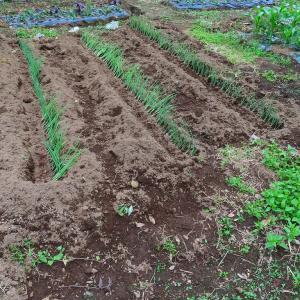 長ネギの植え付けをした家庭菜園