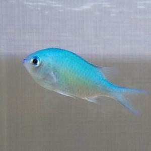 カクレクマノミと混泳可能な青い海水魚 デバスズメをGET!