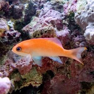 カクレクマノミとの混泳におすすめのピンクの魚!ケラマハナダイをご紹介!