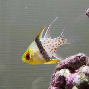 カクレクマノミと混泳可能なおしゃれな魚 マンジュウイシモチのご紹介