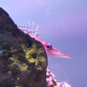カクレクマノミとの混泳にもおすすめ!赤いチェックのクダゴンベ飼育方法ご紹介