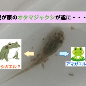 我が家のオタマジャクシが遂にカエルに・・・!?