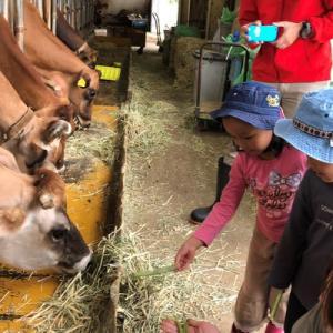ジャージー牛にエサあげ体験♫
