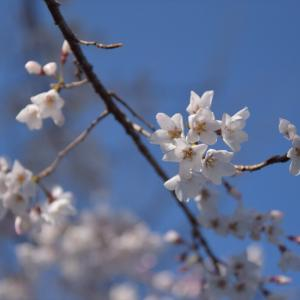いよいよ、桜の季節!
