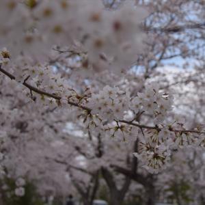 桜の季節は…毎週さ!(笑)