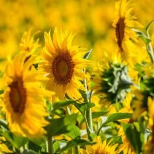 【何でもない日にお花を飾る】メンズセレクト!ひまわりでリビングが明るくなった