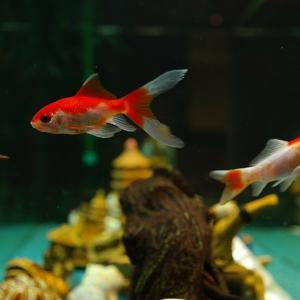 今夏夏祭りがないから金魚を飼おう。道具を揃える一式の紹介
