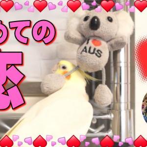 初めての恋❤オカメインコ・エマとコアラちゃん|おもしろいかわいい動物動画