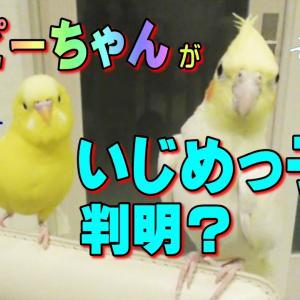 セキセイインコ おしゃべり「エマちゃんウンコ!」いじめっ子と判明?動画