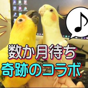 オカメインコの歌祭り♪ミッキーマウスマーチ 面白い可愛い動物動画