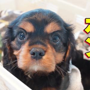 キャバリア子犬 ポン 羽田空港にお迎えに行った日|おもしろいかわいい動物 癒し動画