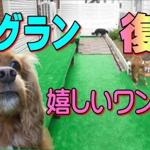 キャバリア隊 興奮!台風で崩壊後、DIYしたお庭のドッグラン再建|おもしろいかわいい動物動画