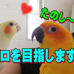 オカメインコ「僕、歌手になります」|面白い可愛い動物癒し動画