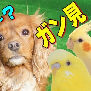 鳥たちにガン見されて困るキャバリア犬|犬とインコ動画