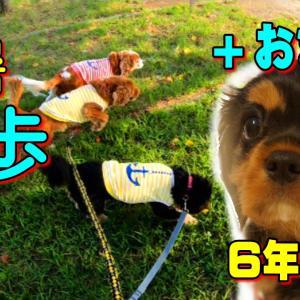 キャバリア犬 お散歩+子犬時代❤残暑お見舞申し上げます|動画