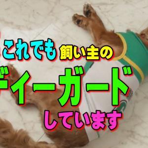 飼い主のボディーガードのつもりのキャバリア犬|おもしろいかわいい動物癒し動画