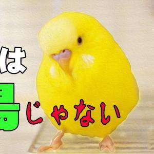 セキセイインコおしゃべりが止まらない |おもしろ可愛い 総集編11 動物癒し動画