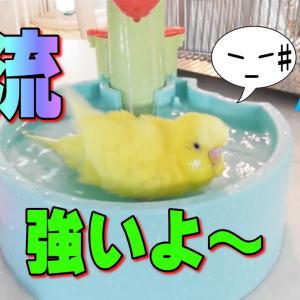 セキセイインコ 転がっちゃいそうな水浴びが可愛い|おもしろ動物癒し動画