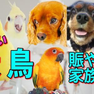 犬と鳥❤多頭飼いのペットチャンネル・賑やか家族動画