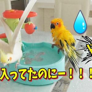 仲良く水浴び?お水の知育でマイペースなレオと気遣いのエマ|オカメインコ動物癒し動画