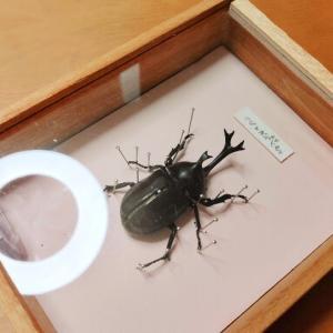 昆虫標本づくり🐞