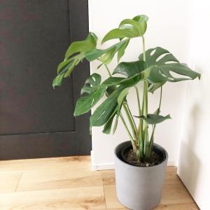 【観葉植物】モンステラを育て始めました