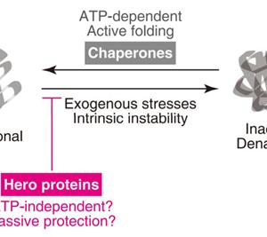 """タンパク質を保護する天然変性タンパク質群""""Hero""""の発見とその機能"""
