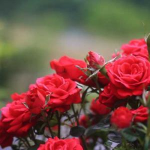 庭のバラが満開に