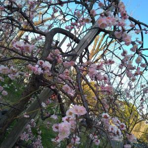 愛知県 刈谷市 日高公園  梅を見ながら散歩
