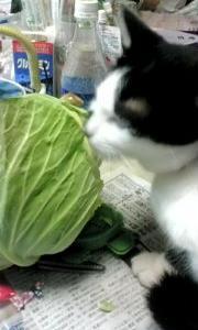 猫がキャベツを食べて害はある?食べてしまった時の対処法と注意点は?
