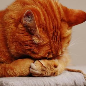 猫が茶葉を食べてしまった時の対処法は?応急処置と症状は?