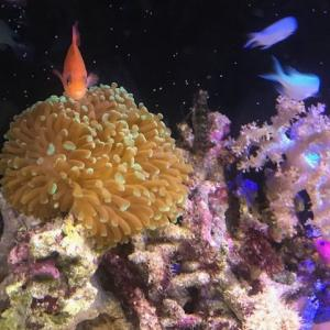 ナガレハナサンゴを隔離水槽から戻す